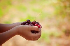 Mano del ` s del niño sosteniendo cerezas rojas en fondo verde de la naturaleza foto de archivo libre de regalías