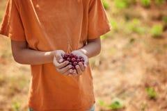 Mano del ` s del niño sosteniendo cerezas rojas en fondo verde de la naturaleza fotografía de archivo libre de regalías