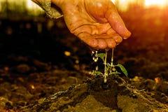 Mano dell'agricoltore anziano che innaffia piccola pianta alla luce solare di mattina Fotografia Stock Libera da Diritti