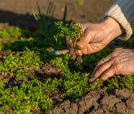 Mano dell'agricoltore anziano che semina plantula in suolo Fotografie Stock
