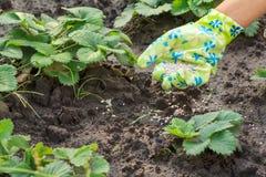 Mano dell'agricoltore che dà fertilizzante chimico al giovane pla delle fragole Immagine Stock