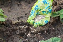 Mano dell'agricoltore che dà fertilizzante chimico al giovane pla delle fragole Fotografia Stock