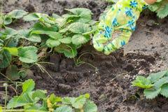 Mano dell'agricoltore che dà fertilizzante chimico al giovane pla delle fragole Immagine Stock Libera da Diritti