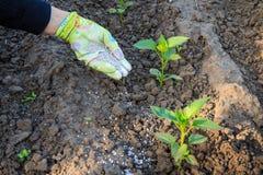 Mano dell'agricoltore che dà fertilizzante chimico alle giovani piante del pepe Immagini Stock