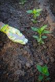 Mano dell'agricoltore che dà fertilizzante chimico alle giovani piante del pepe Immagini Stock Libere da Diritti