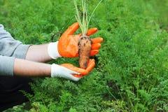 Mano dell'agricoltore che giudica una carota organica fresca di f nel giardino di autunno all'aperto Immagine Stock