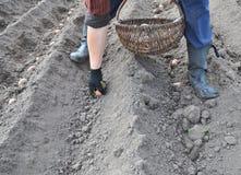 Mano dell'agricoltore che pianta le patate Uomo che coltivare il giacimento della patata Fotografia Stock