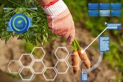 Mano dell'agricoltore in guanto con le carote sull'azienda agricola Fotografie Stock Libere da Diritti