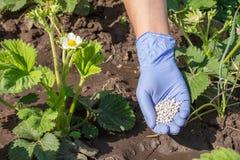 Mano dell'agricoltore in guanto di gomma che dà fertilizzante chimico ai giovani Immagine Stock