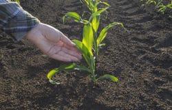 Mano dell'agricoltore nel campo di grano Concetto agricolo Immagini Stock