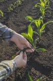 Mano dell'agricoltore nel campo di grano Concetto agricolo Fotografia Stock Libera da Diritti