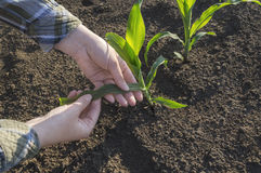 Mano dell'agricoltore nel campo di grano Concetto agricolo Fotografia Stock