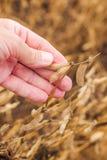 Mano dell'agricoltore nel campo pronto del fagiolo della soia del raccolto Fotografia Stock