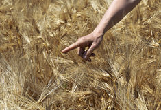 Mano dell'agricoltore nel giacimento di grano. Fotografia Stock Libera da Diritti