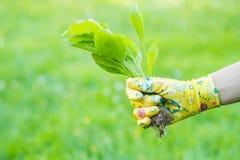 Mano dell'erbaccia femminile della tenuta del guanto di In Yellow Colorful del giardiniere sopra immagine stock libera da diritti