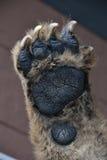 Mano dell'orso Immagine Stock Libera da Diritti