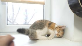 Mano dell'uomo che segna il gatto tricolore video di moto lento di stile di vita concetto tricolore dell'animale domestico del ga archivi video