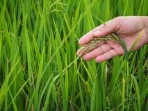 Mano dell'uomo con il giacimento del riso Fotografia Stock Libera da Diritti