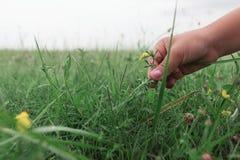 Mano della bambina che seleziona i fiori gialli Prato naturale di estate Fotografia Stock Libera da Diritti
