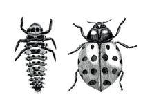 Mano della coccinella asiatica multicolore di signora Beetle, della larva e dell'adulto Fotografia Stock Libera da Diritti