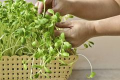 Mano della donna che coltiva la merce nel carrello verde del germoglio del girasole a casa Fotografia Stock
