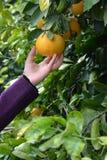 Mano della donna che seleziona un arancio Immagini Stock Libere da Diritti