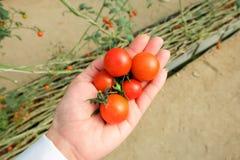 mano della donna che tiene i multi pomodori ciliegia di colore in mani Fotografia Stock