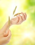 Mano della donna con l'erba asciutta Fotografia Stock