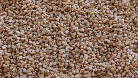 Mano della femmina della farina di grano saraceno stock footage