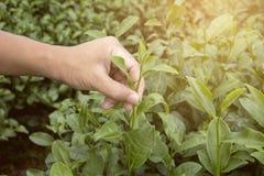 Mano della punta maschio di raccolto della foglia di tè verde nella piantagione di tè Fotografie Stock