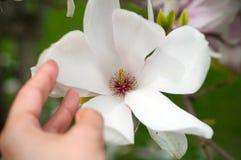Mano della ragazza che tiene un bello fiore della magnolia fotografie stock libere da diritti