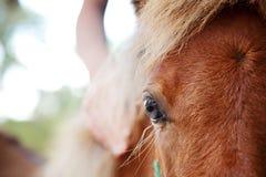 Mano della ragazza sulla puledra miniatura del cavallo Fotografia Stock