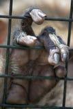 Mano della scimmia Fotografia Stock Libera da Diritti