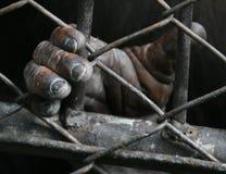 Mano dello scimpanzè Fotografia Stock