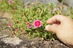 Mano derecha que alcanza una flor Imagen de archivo