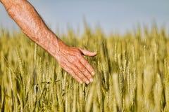 Mano di un agricoltore che tocca le orecchie di maturazione del grano di inizio dell'estate Fotografie Stock