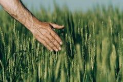 Mano di un agricoltore che tocca le orecchie di maturazione del grano di inizio dell'estate Fotografia Stock