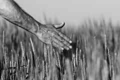 Mano di un agricoltore che tocca le orecchie di maturazione del grano di inizio dell'estate Immagini Stock