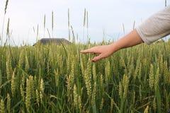 Mano di un agricoltore che tocca le orecchie di maturazione del grano di inizio dell'estate Mano del coltivatore nel campo di fru Immagini Stock