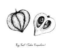 Mano dibujada de Canistel o de Eggfruit en el fondo blanco Foto de archivo libre de regalías