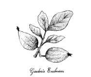 Mano dibujada de Gardenia Erubescens Fruits en rama de árbol Fotos de archivo libres de regalías