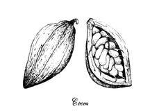 Mano dibujada de las frutas del cacao del Theobroma en manojo del árbol Fotografía de archivo libre de regalías