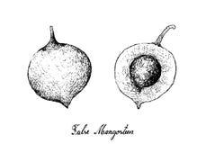 Mano dibujada de las frutas falsas del mangostán en el fondo blanco Fotografía de archivo