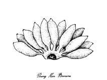 Mano dibujada de Pisang maduro fresco Mas Banana Fotografía de archivo libre de regalías