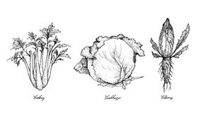 Mano dibujada del apio, de la col y de la achicoria stock de ilustración