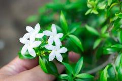 Mano e fiori bianchi Immagine Stock