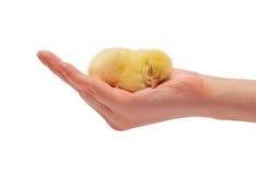 Mano e un pollo Fotografia Stock
