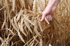 Mano en campo de trigo Imagenes de archivo