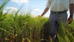 Mano en campo de trigo Mano que resbala en centeno Mano que toca los oídos del campo de trigo metrajes
