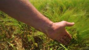 Mano en campo de trigo Mano que resbala en centeno Mano que toca los oídos del campo de trigo almacen de video